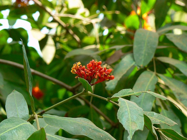 Ashoka Herb